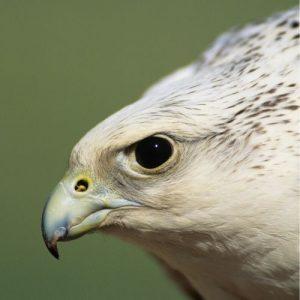 Falcão gerifalte, uma ave excepcional em falcoaria