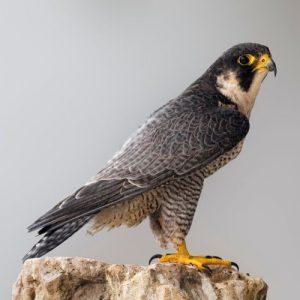Falcão peregrino-a ave de altanaria por excelência