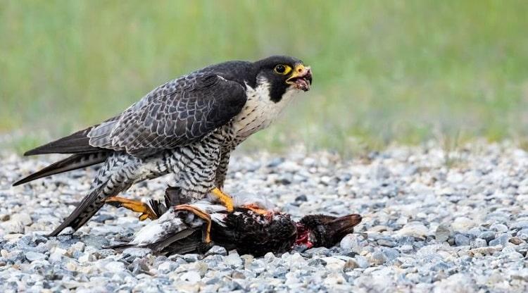 Falcão peregrino a alimentar-se