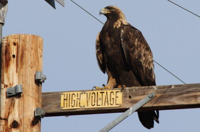 Águia real poisada em torre eléctrica