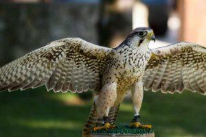 Falcão lanário de falcoaria no banco