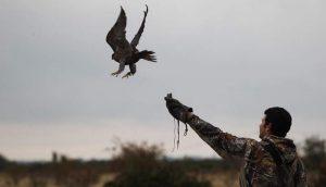 Falcão a sair do punho do falcoeiro
