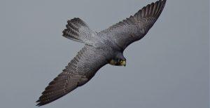 Falcão peregrino em voo