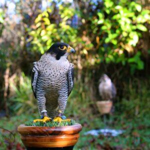 Falcão de falcoaria no banco