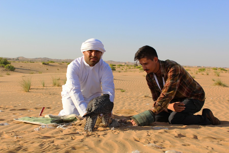 Final de um lance Falcoaria árabe