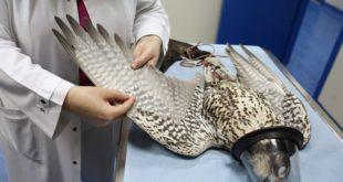 Falcão em observação no hospital veterinário de Abu Dhabi