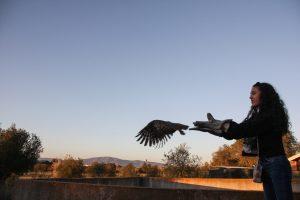 Libertação de ave de presa