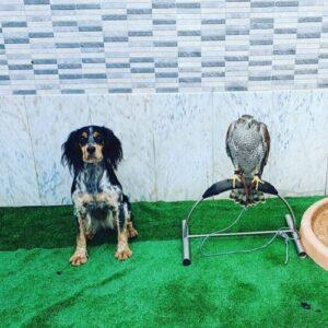 O cão de caça é um bom companheiro em falcoaria